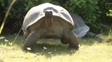 Explorer Interrupts Mating Tortoises Slowest Chase Ever Ensues
